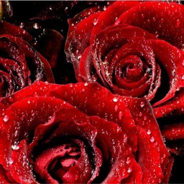 47 - Roses